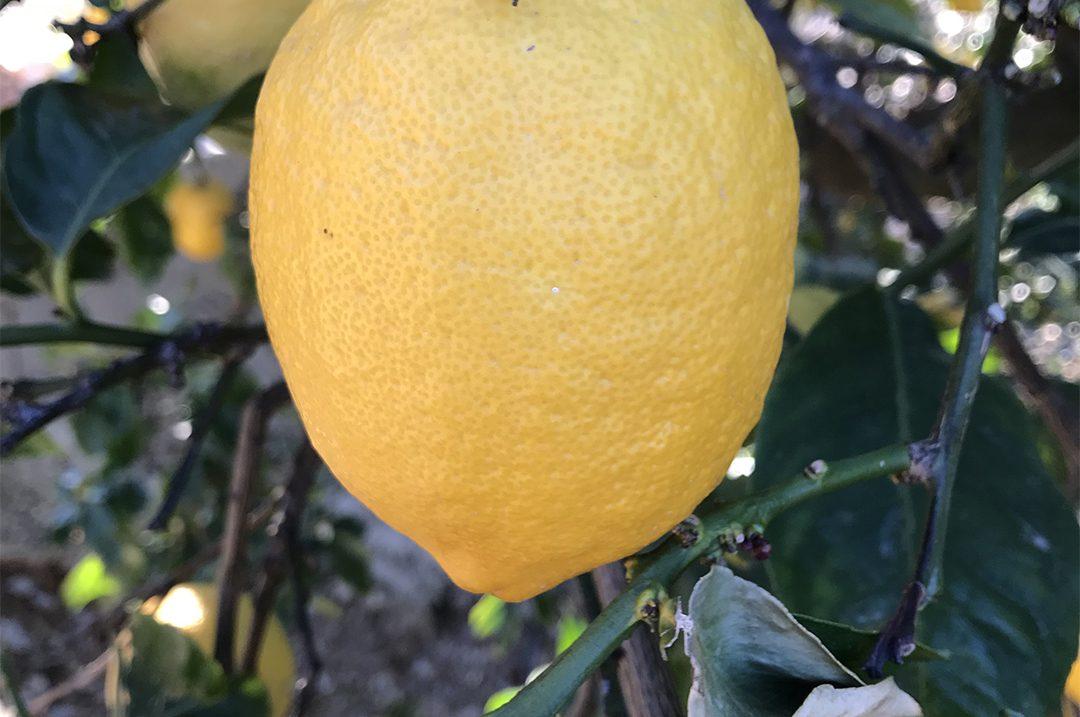 header-limon
