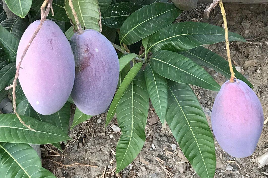 header-mango